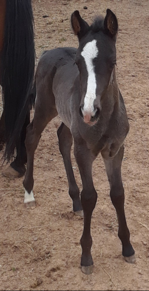 A 2019 foal from Box Hanging Three Ranch